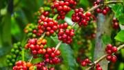 TT cà phê tuần 49: Sức ép bán đè nặng lên robusta do nhà sản xuất vào kỳ thu hái rộ