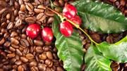 TT cà phê ngày 20/11: Giá mất đà, đồng loạt rơi xuống trên mốc 32.000 đồng/kg