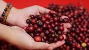 ICO: Chỉ số giá cà phê ICO trong tháng 3 tăng sau hai tháng giảm liên tiếp