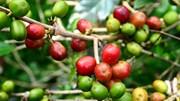 TT cà phê ngày 26/11: Giá tại các tỉnh Tây Nguyên đảo chiều hồi phục trở lại