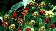 TT cà phê ngày 07/7: Giá đồng loạt giảm 500 đồng tại các vùng trọng điểm