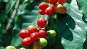 TT cà phê ngày 29/02: Giảm phiên thứ hai liên tiếp, chạm mức thấp dưới 31.500 đồng/kg