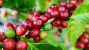 TT cà phê ngày 25/9: Giá trong nước giữ vững ở 31.700 – 32.200 đồng/kg