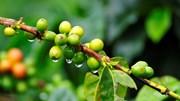TT cà phê ngày 21/01: Giá đảo chiều sụt giảm về mức 30.900 - 31.400 đồng/kg