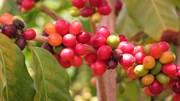 TT cà phê ngày 27/11: Giá tăng mạnh 600 đồng chạm mốc 33.000 đồng/kg