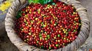 TT cà phê ngày 20/02: Giá chốt ở 30.900 – 31.500 đồng/kg