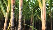 Trăn trở hạt đường Việt Nam