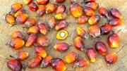 TT dầu cọ thế giới ngày 27/01: Giá đảo chiều hồi phục so với các loại dầu cạnh tranh