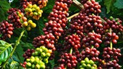 Cà phê Châu Á: Giá tại Việt Nam không đổi, mức cộng tại Indonesia tăng