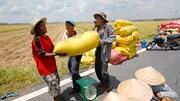 Giá lúa ĐBSCL tăng mạnh 200-300 đồng/kg