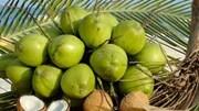 Giá dừa xiêm xanh giảm mạnh