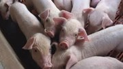 Sớm xuất khẩu thịt lợn sang thị trường Hàn Quốc