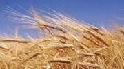 Nhập khẩu lúa mì 6 tháng 2017 tăng cả lượng và trị giá