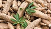 Xuất khẩu sắn và sản phẩm từ sắn sang các thị trường hầu hết đều sụt giảm