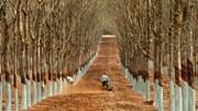 Chặt bỏ hàng trăm ha cao su