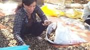 Trung Quốc lùng sục thu mua cau non