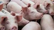 Giá lợn hơi ngày 10/8/2020 giảm nhẹ phiên đầu tuần