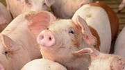 Giá lợn hơi hôm nay 11/8/2020 cả 3 miền tiếp tục giảm 1.000 - 4.000 đồng/kg