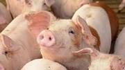Giá lợn hơi ngày 14/8/2020 dịch tả lợn châu Phi bùng phát giá lợn dự báo tăng