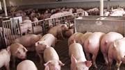 Kho dự trữ thịt lợn của Trung Quốc dần cạn kiệt giữa cơn bão giá liên tục leo thang