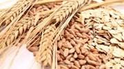 Thị trường TĂCN thế giới ngày 2/12/2020: Lúa mì giảm gần mức thấp nhất