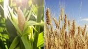 Nga chính thức áp thuế cao hơn đối với xuất khẩu lúa mỳ kể từ ngày 01/3/2021