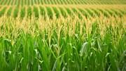 Diện tích trồng ngô ở Brazil có thể sẽ mở rộng vào năm 2021