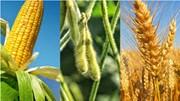 Bảo hiểm giá nông sản cao hơn cho ngô và đậu tương