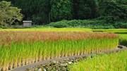 Sản lượng lúa của Nhật Bản có thể lần đầu tiên dưới ngưỡng 7 triệu tấn