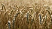 Trung Quốc tăng cường nhập khẩu lúa mì Australia