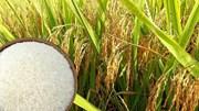 Sản lượng lúa hè thu ước tính giảm gần 120.000 tấn năm 2020