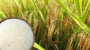 Thị trường lúa gạo ngày 26/11: Giá lúa giảm