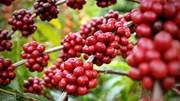 Xuất khẩu cà phê vào Bắc Âu: Chú trọng đặc biệt đến chất lượng sản phẩm