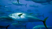 Ả rập xê út - thị trường tiềm năng mới cho cá ngừ Việt Nam