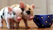 Giá lợn hơi tuần đến 22/4/2018 chính thức chững lại