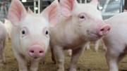 Giá lợn hơi ngày 23/4/2018 khá ổn định