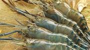 Xuất khẩu tôm sang Hàn Quốc tăng trưởng mạnh nhất