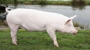Giá lợn hơi ngày 19/5/2018 sẽ sớm chạm ngưỡng 49.000 đ/kg