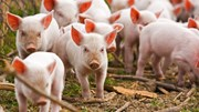 Giá lợn hơi ngày 11/12/2018 biến động nhẹ
