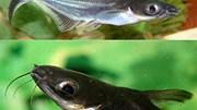 Doanh nghiệp Maroc cần nhập khẩu cá Panga