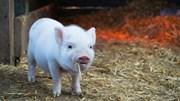 Giá lợn hơi ngày 18/5/2019 tiếp tục bị chi phối bởi dịch ASF