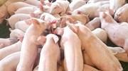 Giá lợn hơi 25/5/2019 tại miền Nam giảm trở lại do thêm nhiều tỉnh mắc dịch