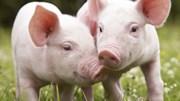Giá lợn hơi ngày 15/6/2019 tiếp tục tăng tại Miền Nam