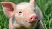 Giá lợn hơi ngày 25/6/2019 giảm trên thị trường cả nước