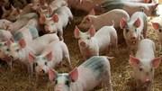 Giá lợn hơi ngày 19/7/2019 tương đối ổn định