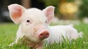 Giá lợn hơi ngày 20/7/2019 tại miền Bắc cao nhất cả nước