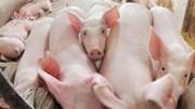 Giá thịt heo có đe dọa chính sách tiền tệ?