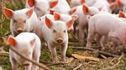 Giá lợn hơi ngày 17/1/2020 giảm tại đa số các tỉnh thành