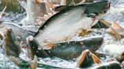 """Ảnh hưởng dịch bệnh, xuất khẩu cá tra khó """"thoát"""" tăng trưởng âm"""