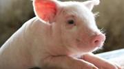 Giá lợn hơi ngày 15/4/2021 tiếp tục giảm nhẹ